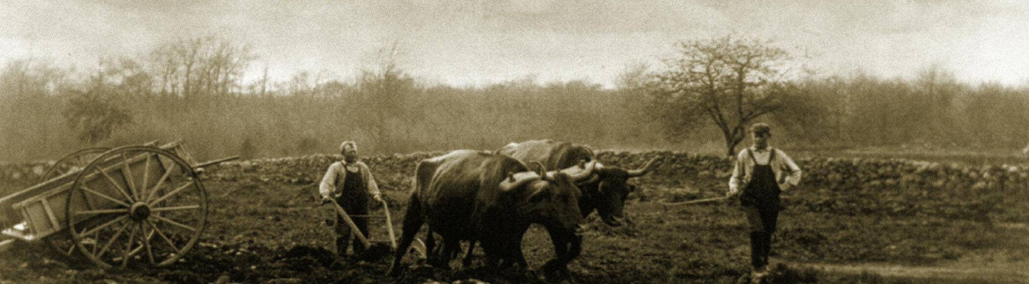 this is an image of vintage farmers using an ox and plow